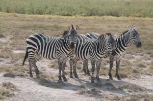 Zebras sind nur eine der zu sehenden Arten während einer Kenia Safari.