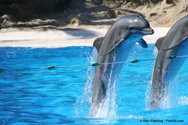 Die sehenswerte Delfinshow im Loro-Park Teneriffa - © Alex Fleming - Fotolia.com