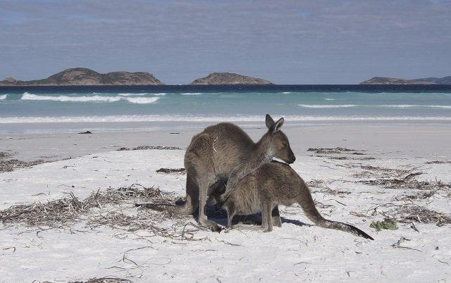 Känguru in der Lucky Bay