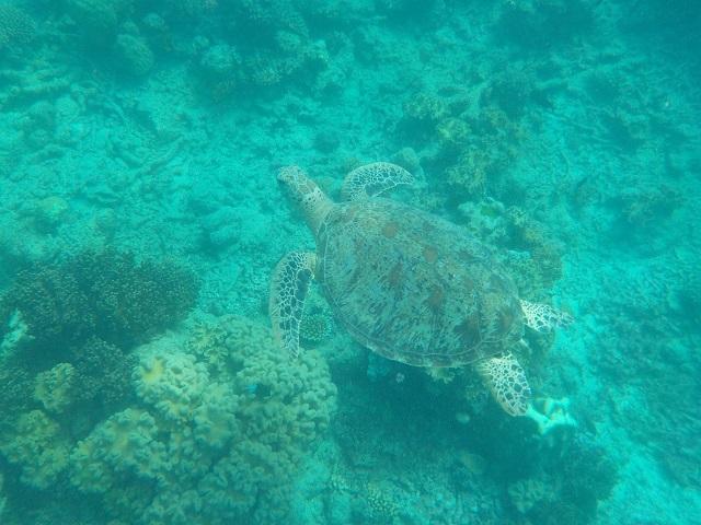 Schildkröte am Great Barrier Reef